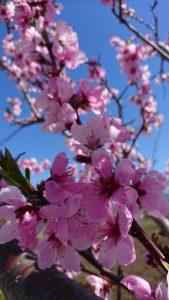 🌸桜咲く🌸